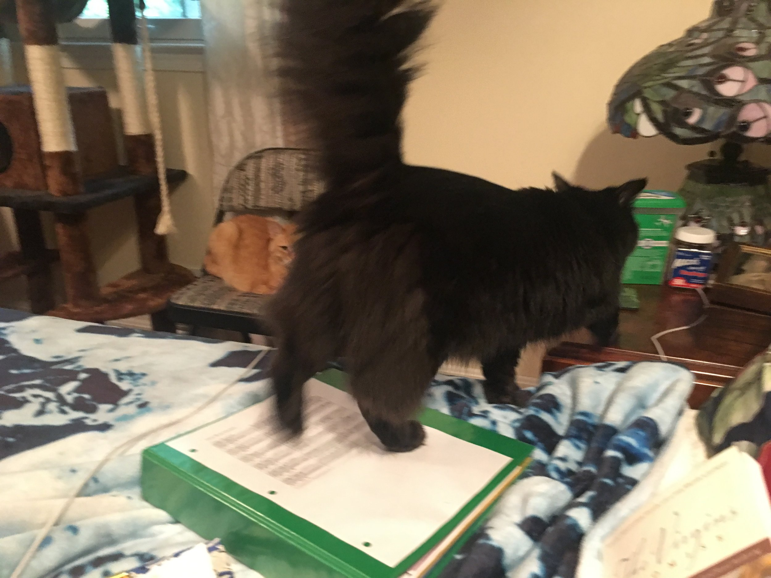 Not the greatest cat pic of the week, but I think it speaks to the gist of the week…Rachel's school stuff spread all over the bed, while I work, Bear ignoring it and trying to get a treat, Homer watching in the background (judgmentally).
