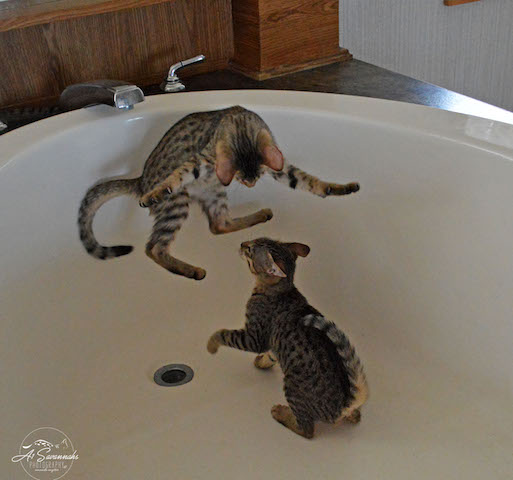 A1 Savannah Kittens at Play