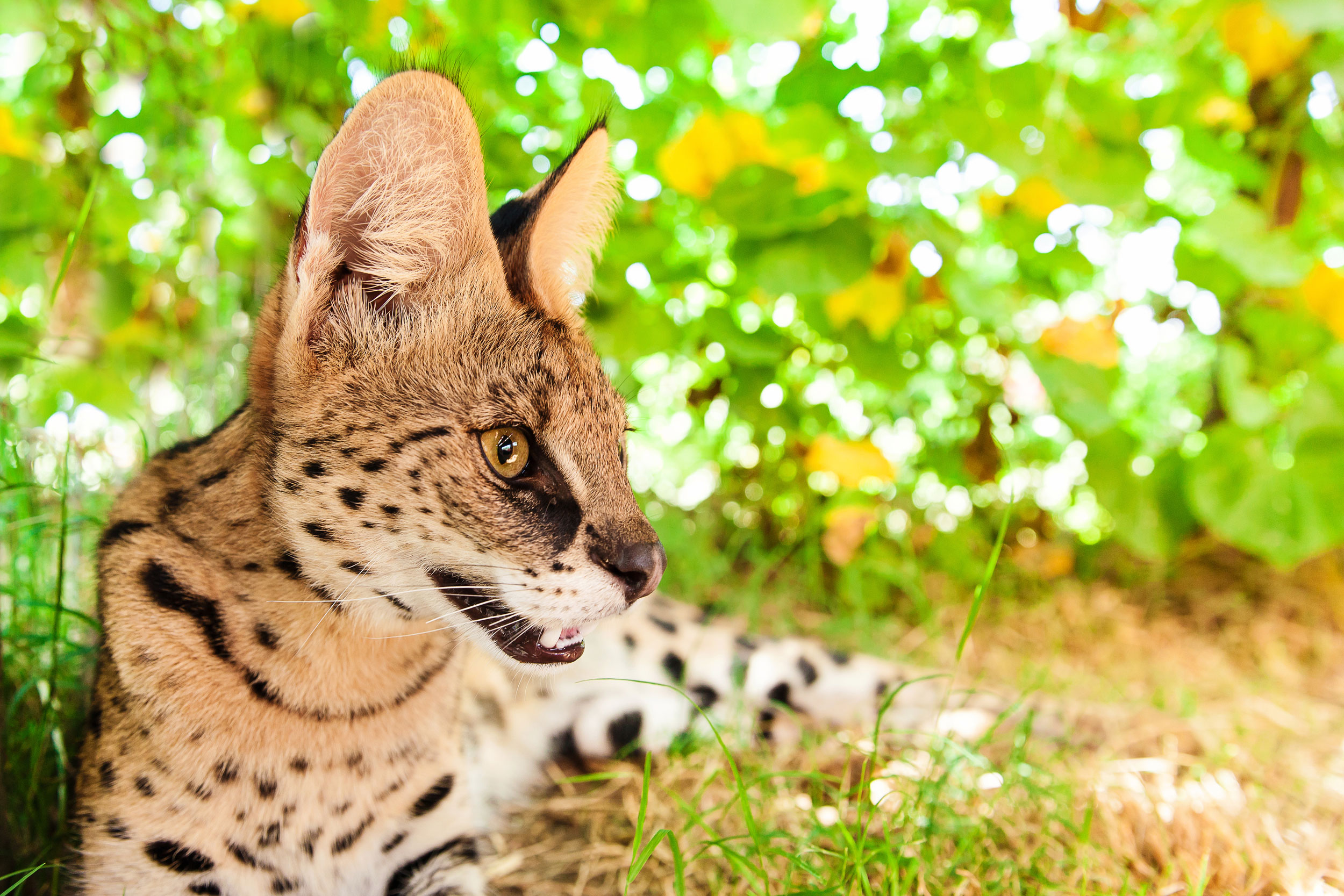 A1 Savannahs - The Original Founder of The Savannah Cat Breed