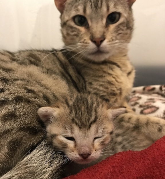 A1Savannahs Mom and Kitten