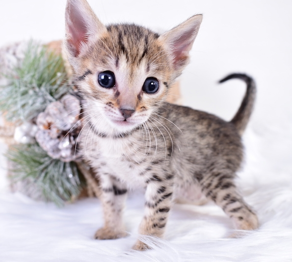 A1Savannahs SBT Savannah Kitten