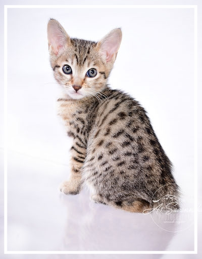 A1Savannahs Savannah Kitten