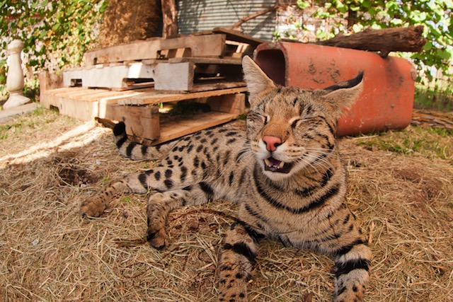 F1 Savannah Cat Pristine making a funny face