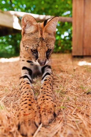 A1Savannahs Amun the serval displaying her long front legs
