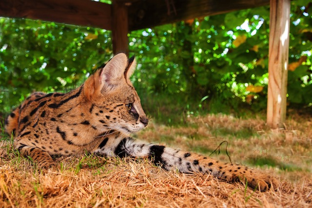 Amun the serval stretching her front leg
