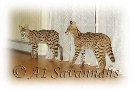 "A1 Savannahs African Servals playing ""Its my toy!"""