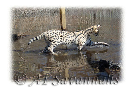 A1 Savannahs Young African Serval