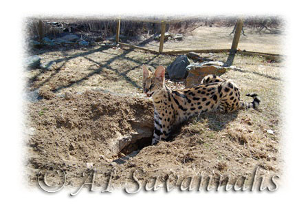 A young African Serval is digging a hole in the ground