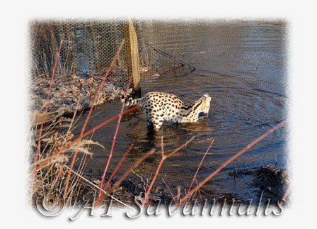 A1 Savannahs African Serval with all four in the water