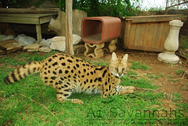 Serval cat pounce and ready to play at A1Savannahs
