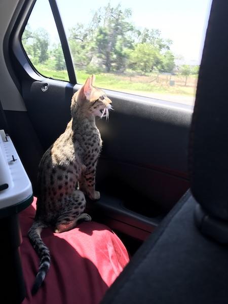 A1Savannahs Zenda - SBT Savannah Kitten