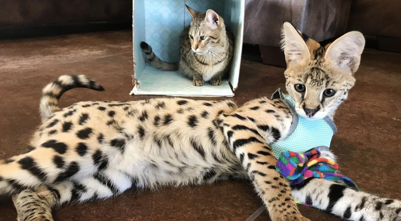 Loki (front) is an African Serval Male Kitten  Alex (back) is an F4 Savannah Female