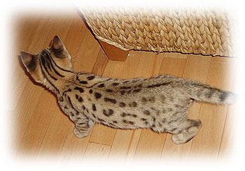 F3 savannah kitten Sabu from above