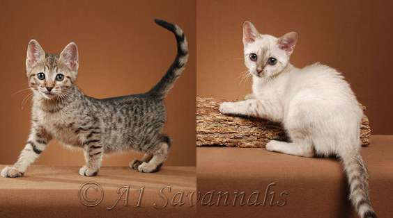 A1Savannahs Lux and Almond posing for their kitten pics