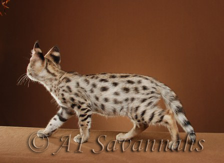 A1Savannahs f1 Prince displaying his amazing markings