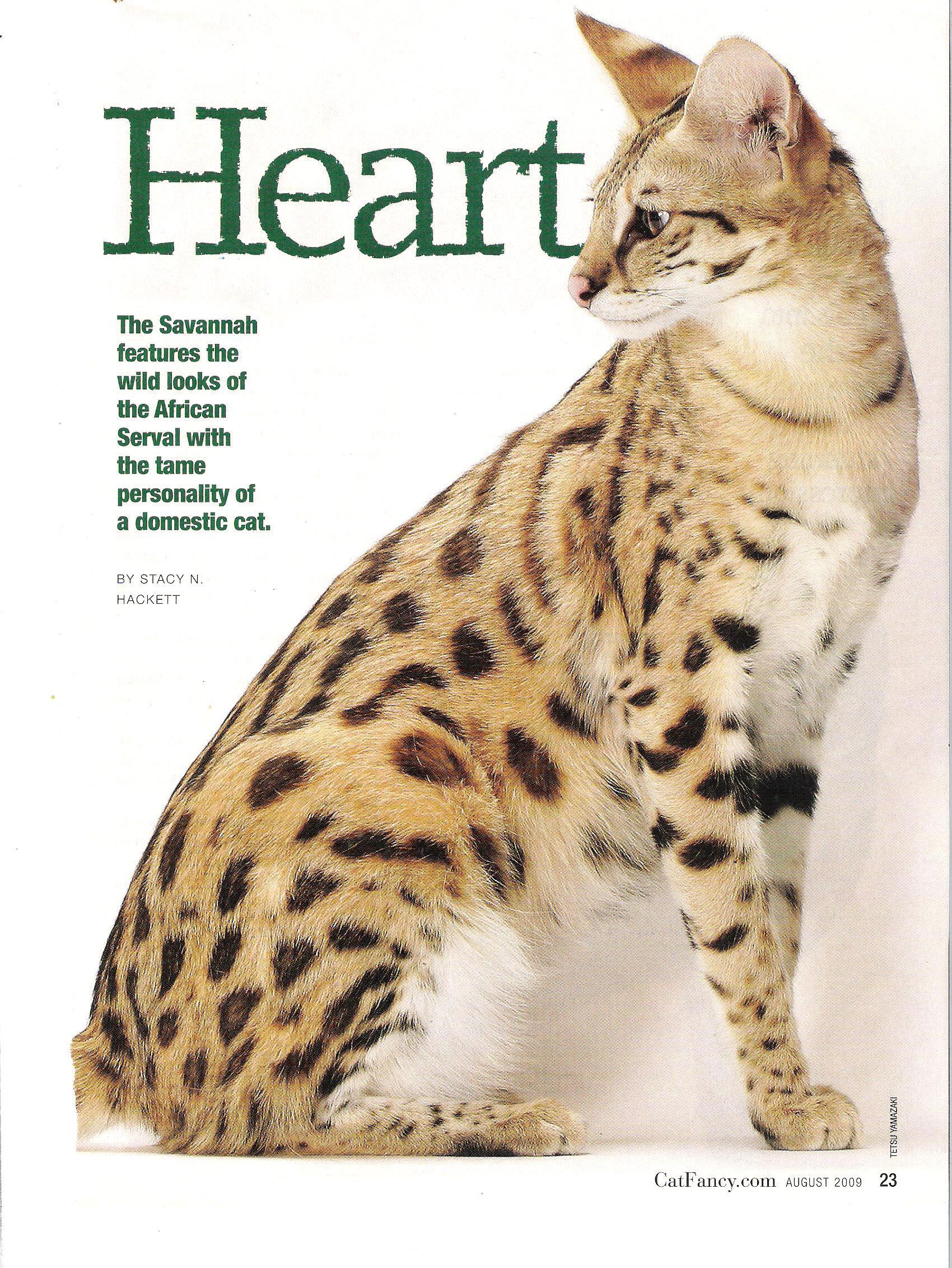 2009 Cat Fancy article about A1Savannahs page 2