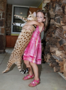 F1 savannah Scarlett's Magic being held by a young girl
