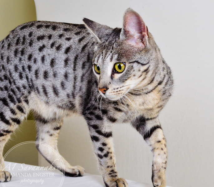 A1Savannahs F6 Caline showing off her amazing markings
