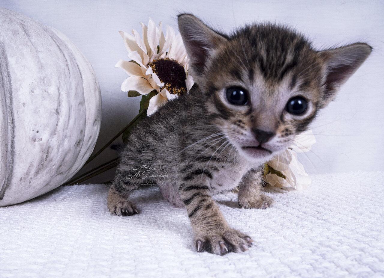 Available Kittens A1 Savannahs