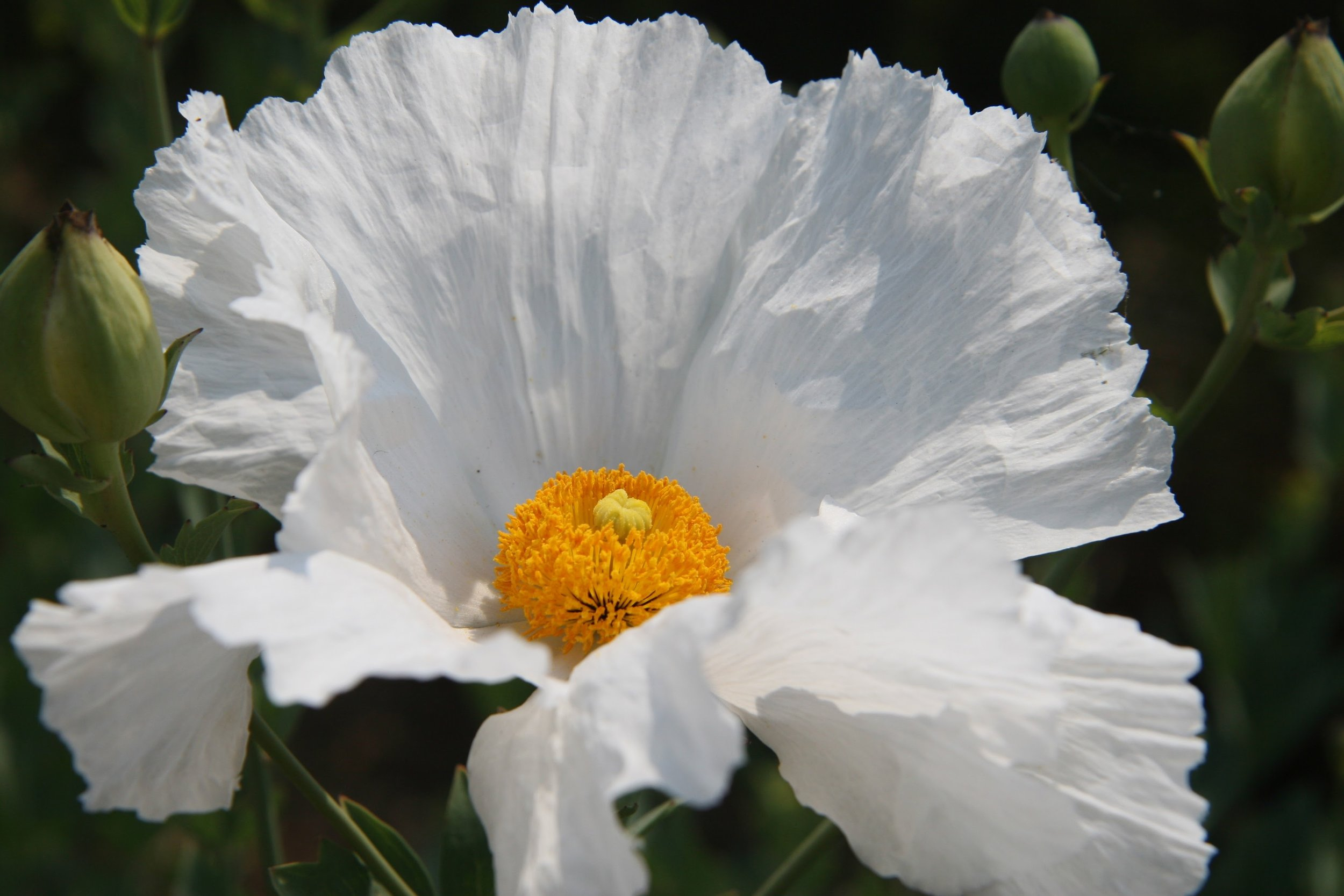 "Matilija Poppy ( Romneya coulteri ) - also called ""Fried Egg"" Poppy."