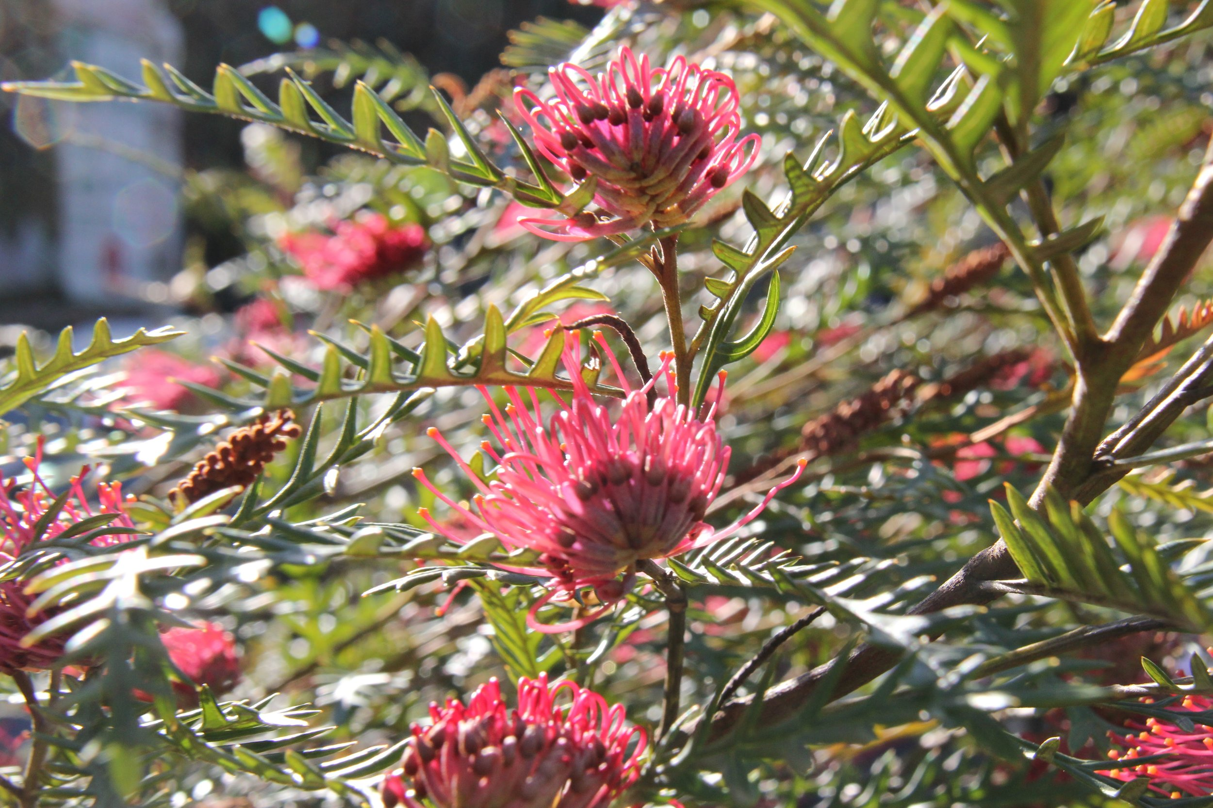 Grevillea  'Ivanhoe' in bloom.