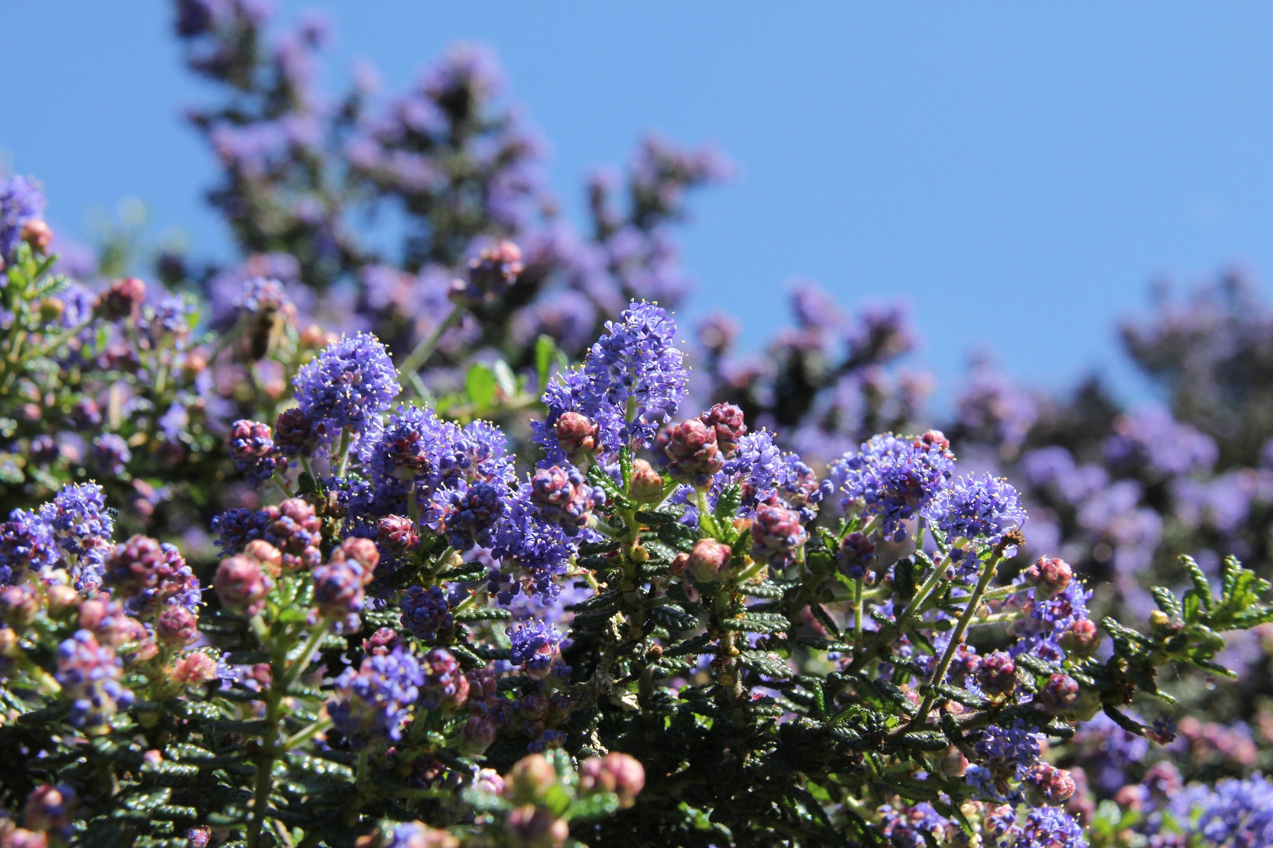 Ceanothus  at the GFE.
