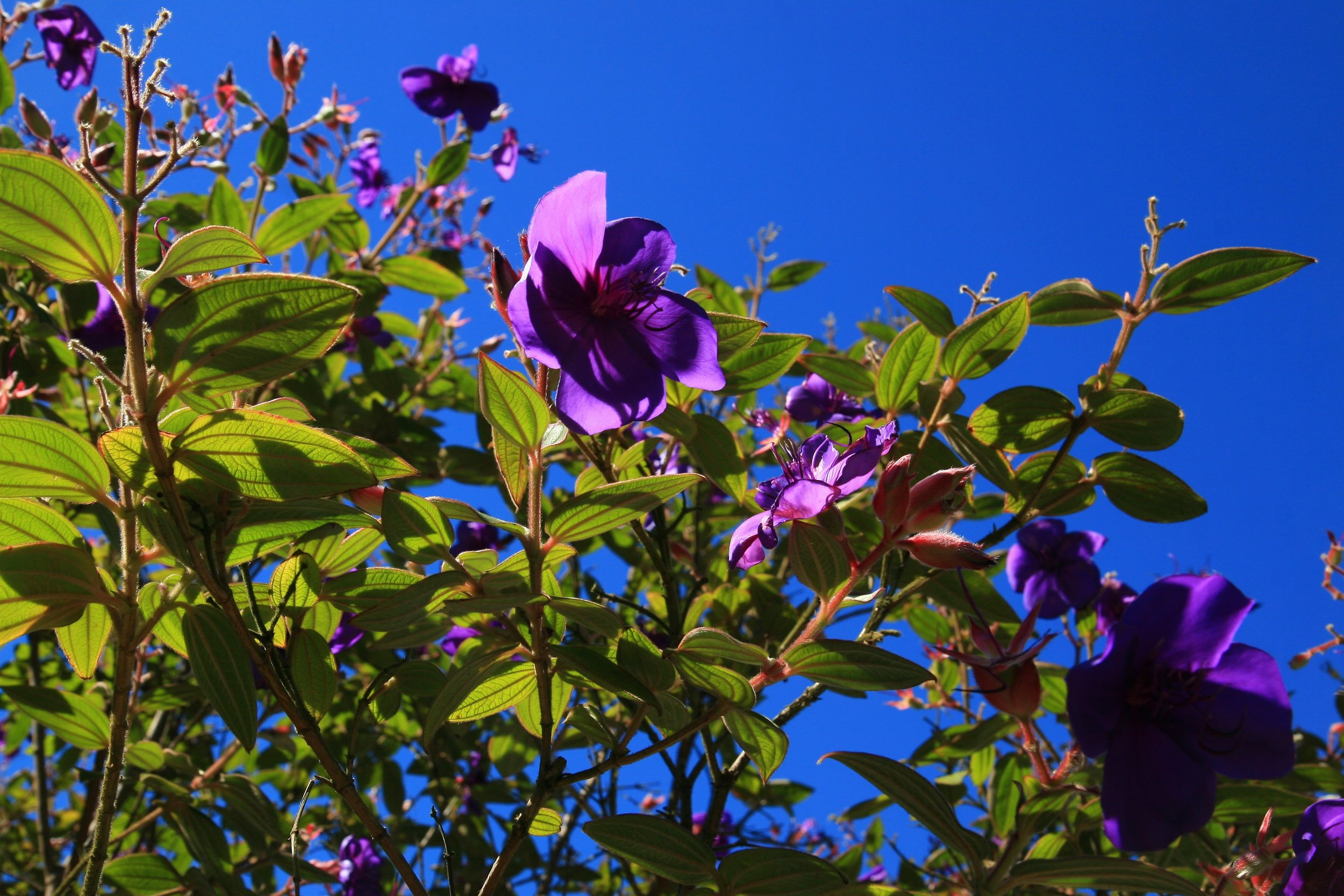 Tibouchina  at the GFE.