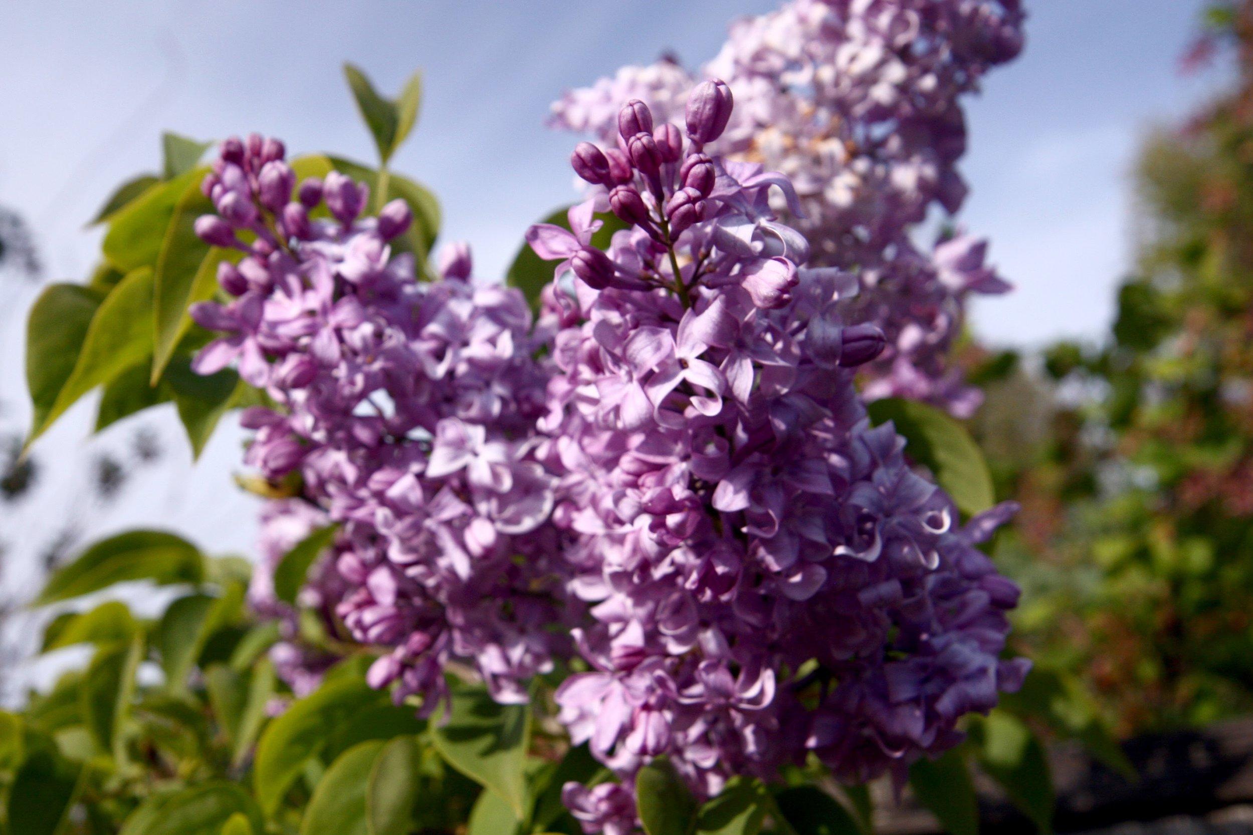 Lilac at GFE.