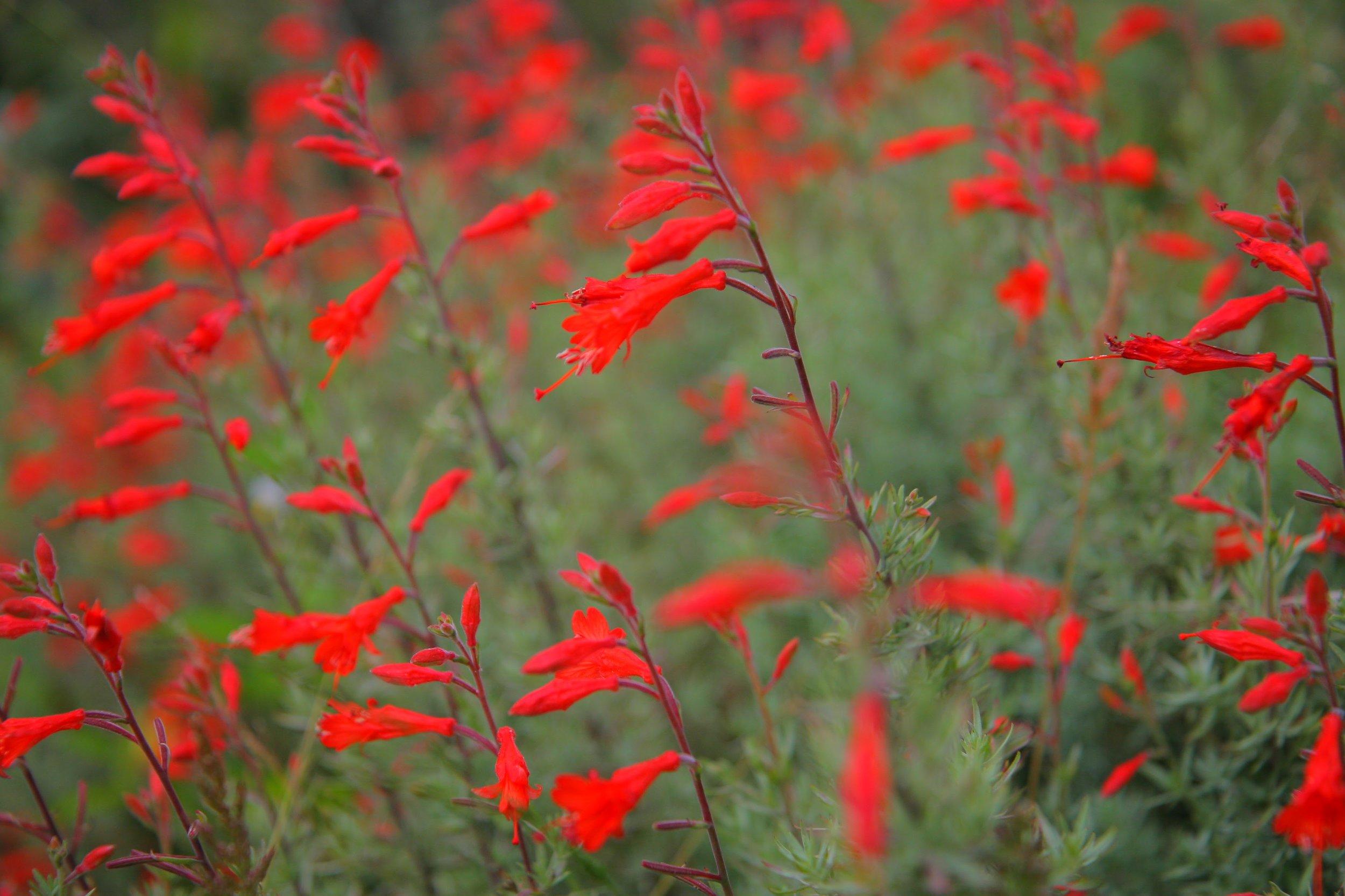 California fuchsia ( Zauschneria ).