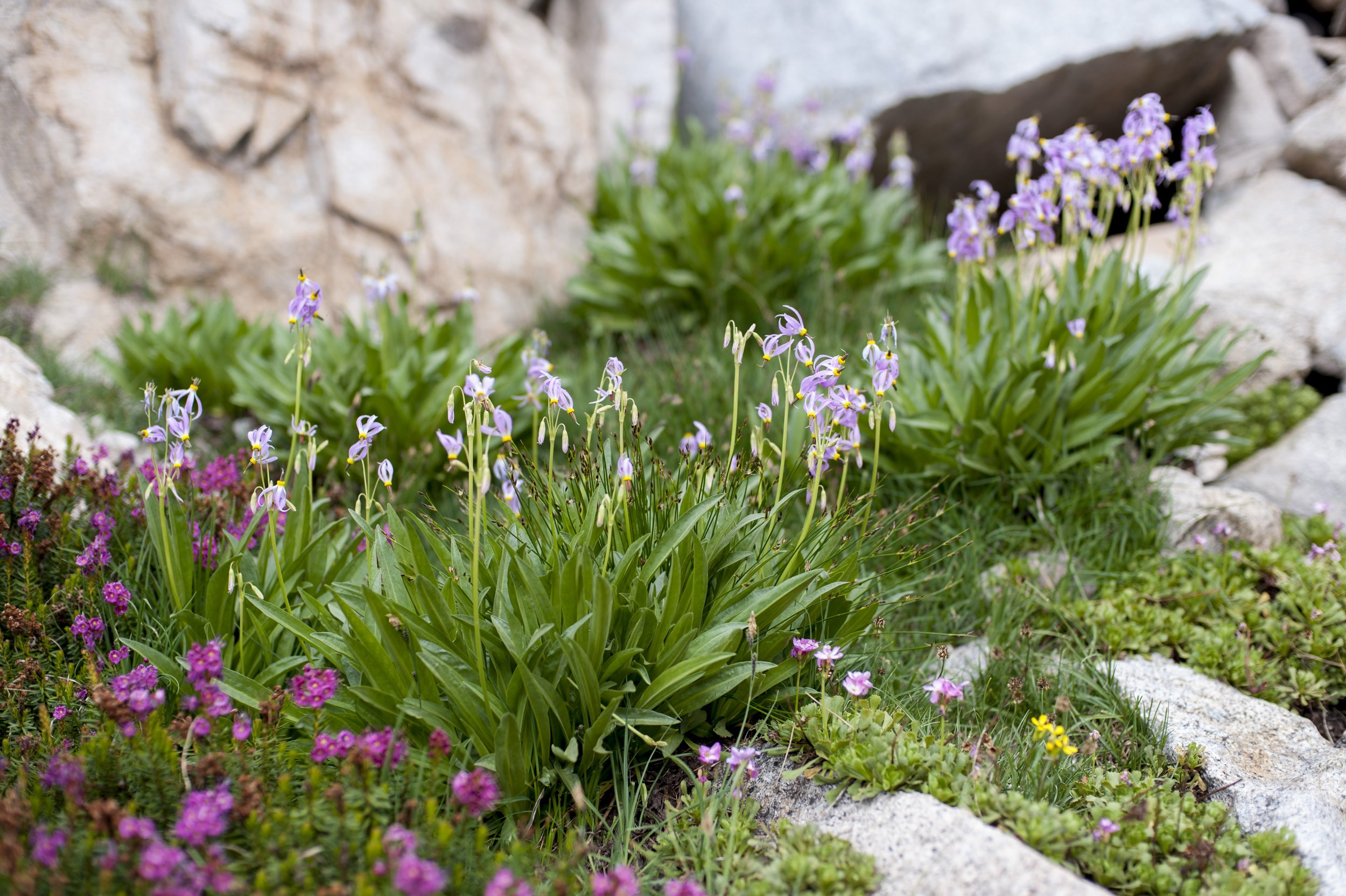 Sierra shooting stars and other high Sierra flowers.