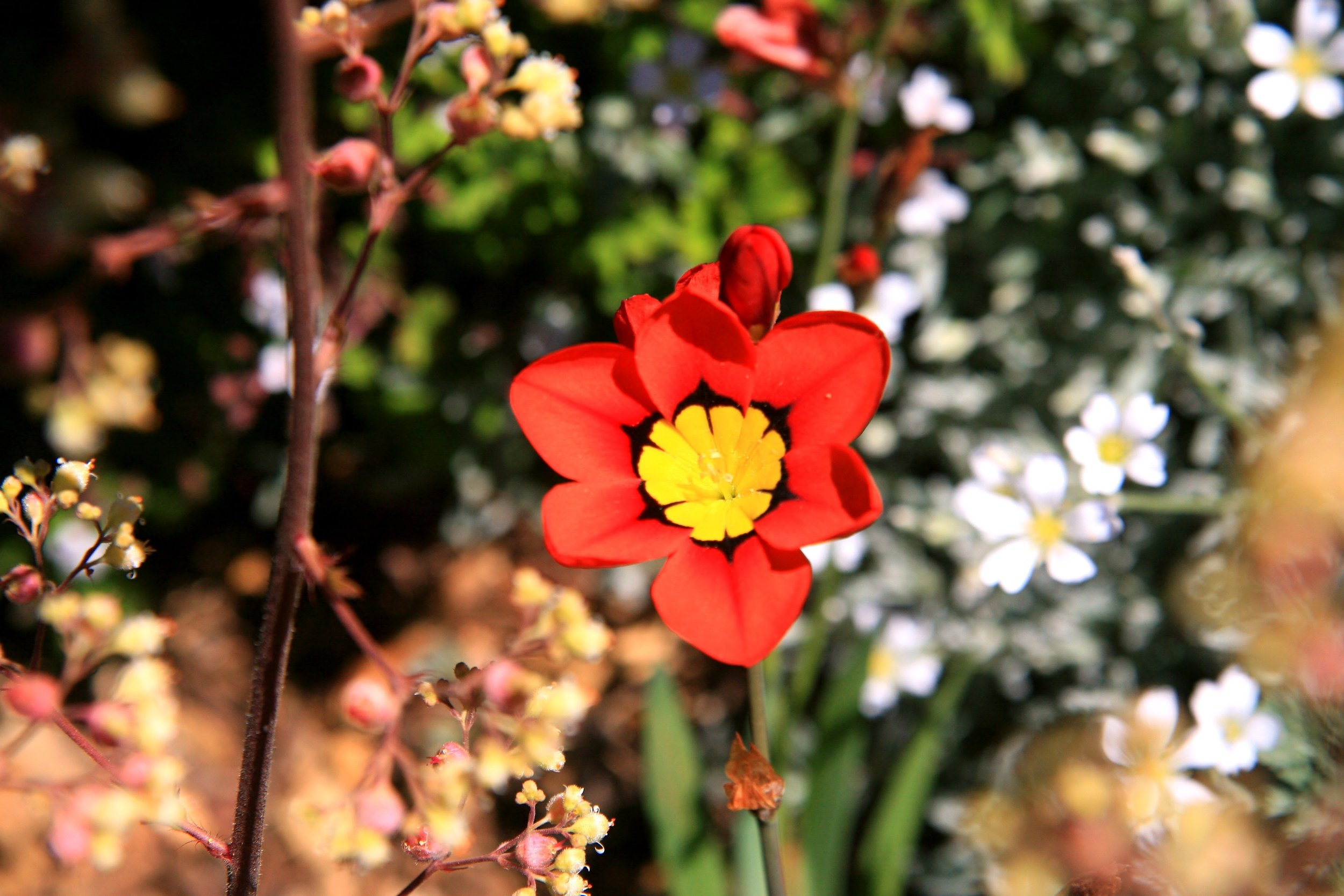 Sparaxis tricolor.