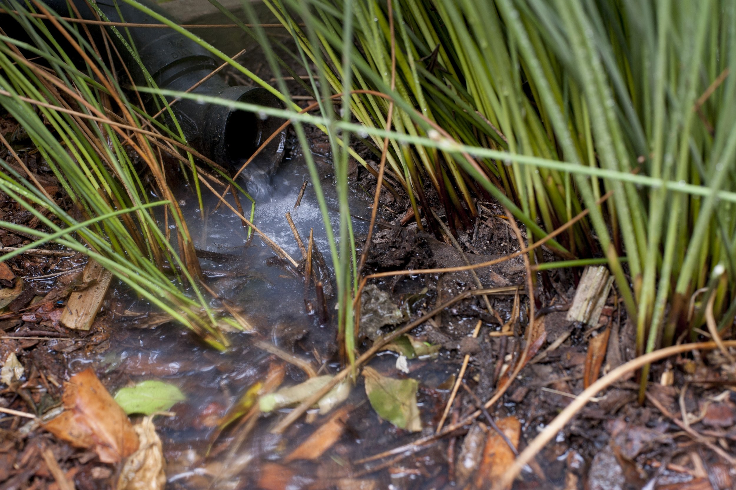 Graywater irrigating a California gray rush.