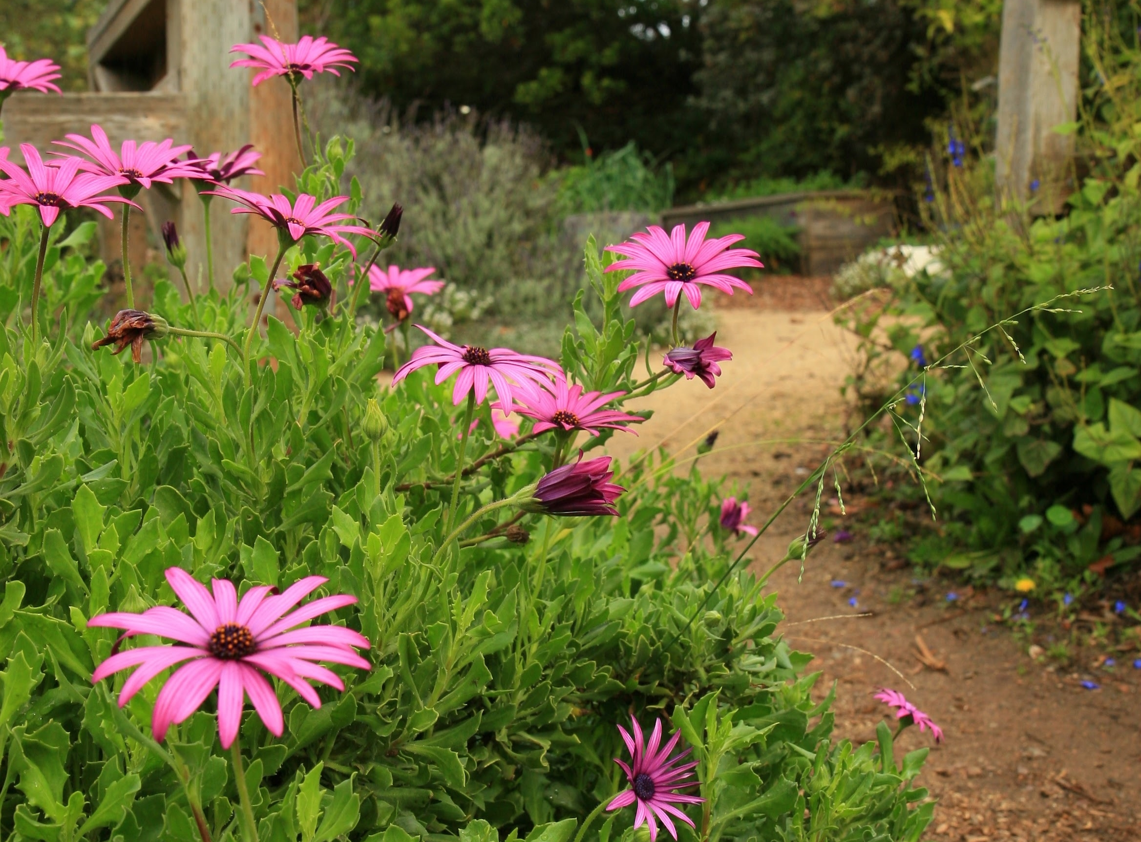 African daisies.