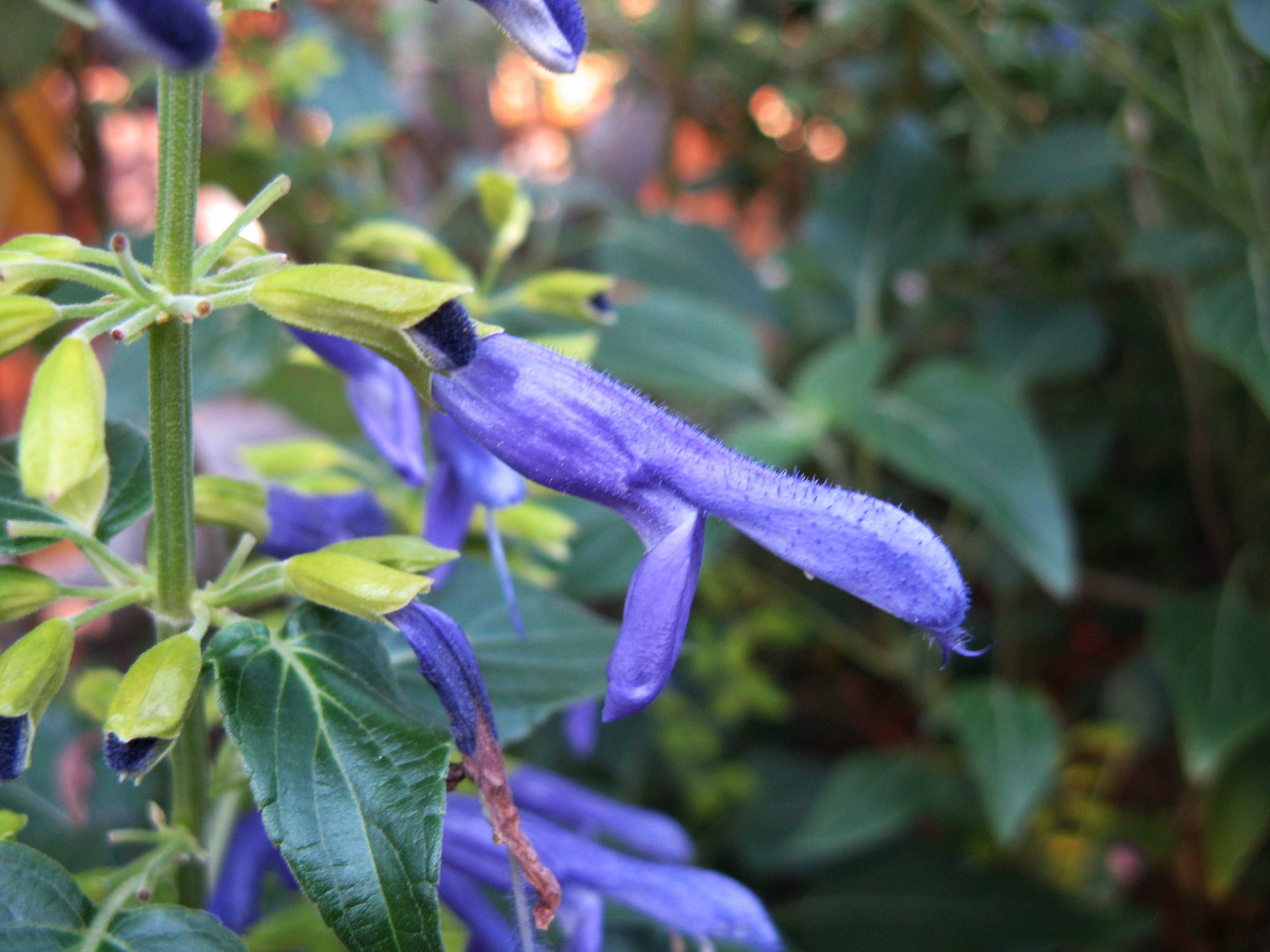 Salvia mexicana  'Limelight.'