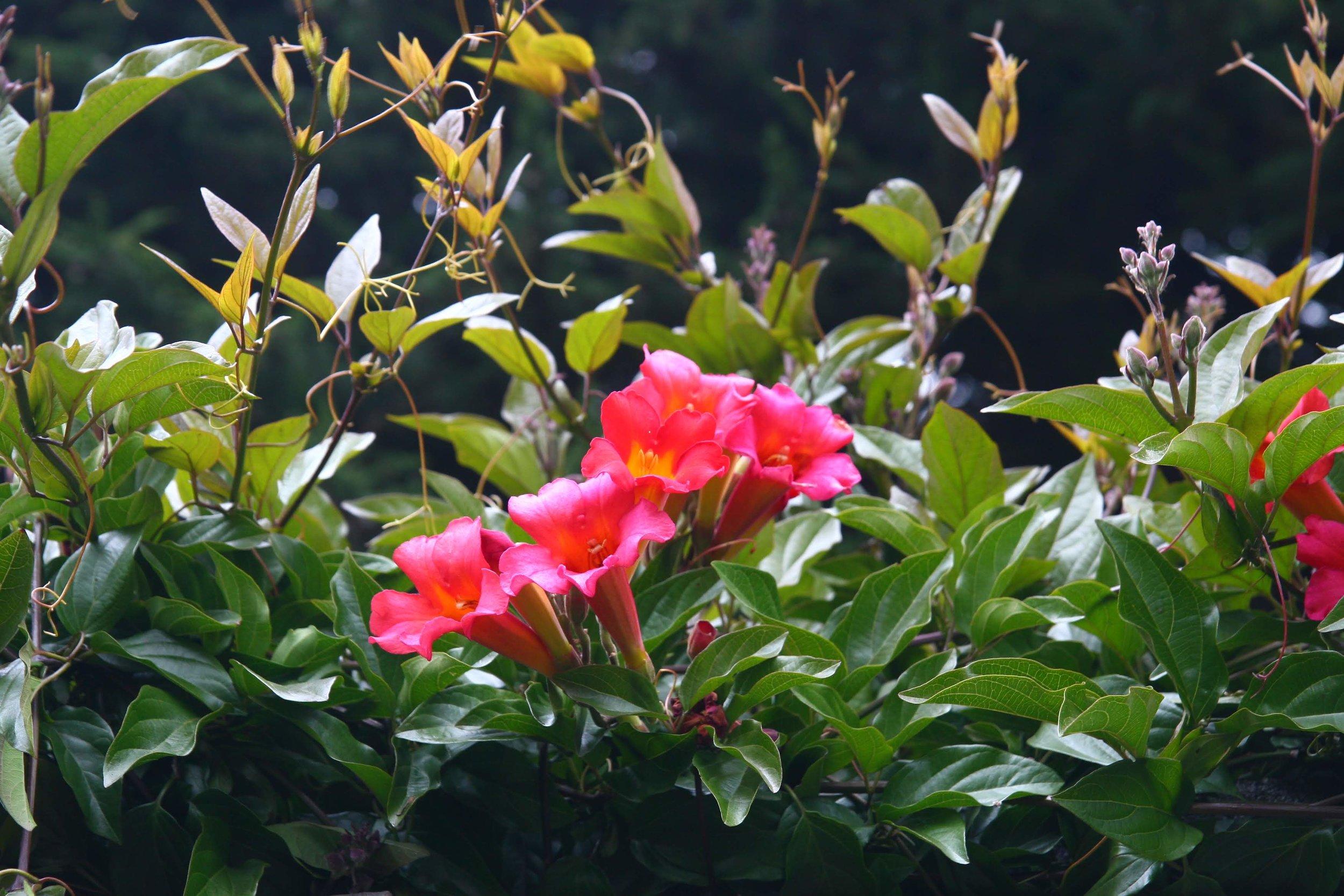 BLood-red trumpet vine.