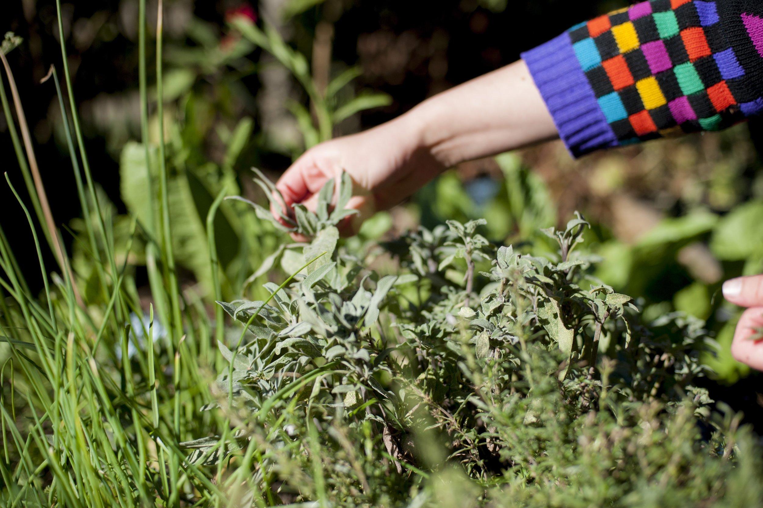 Picking fresh herbs.