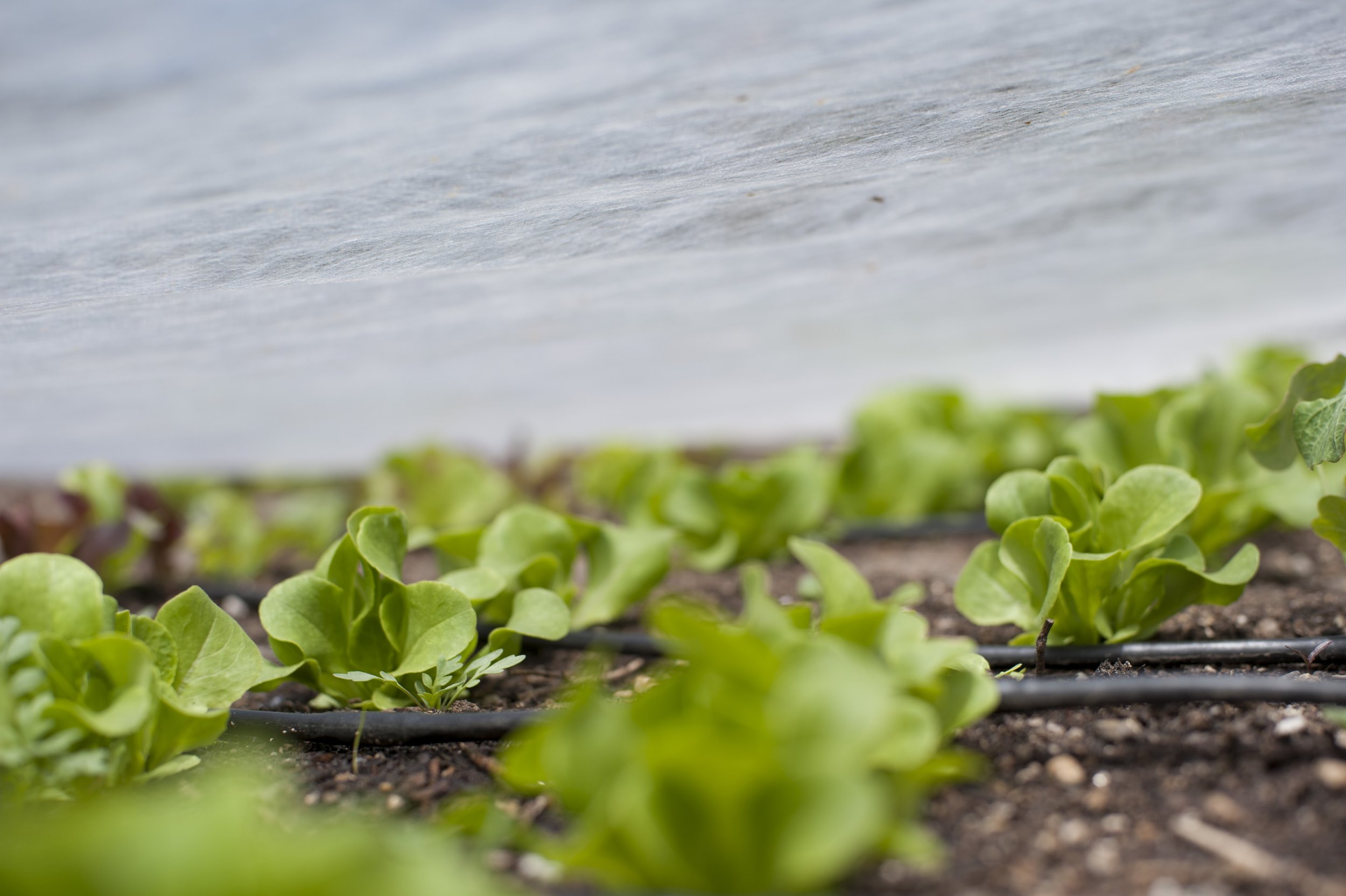 Lettuce plants protected under row cover in a raised bed.