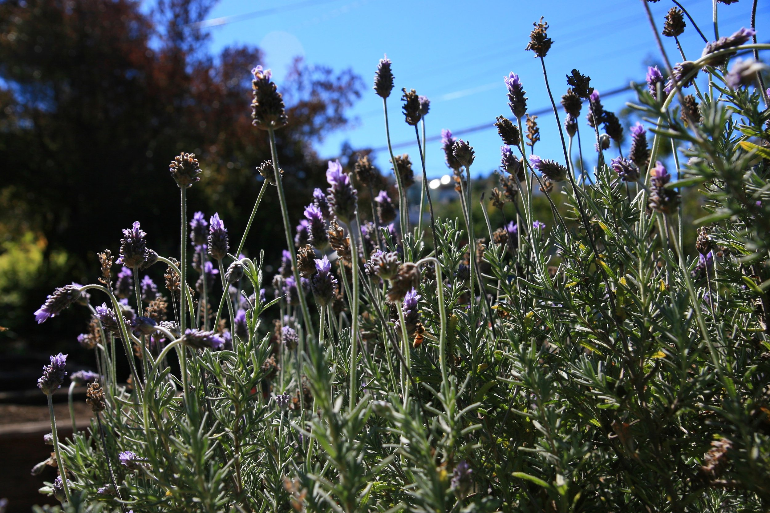 French lavender in bloom.
