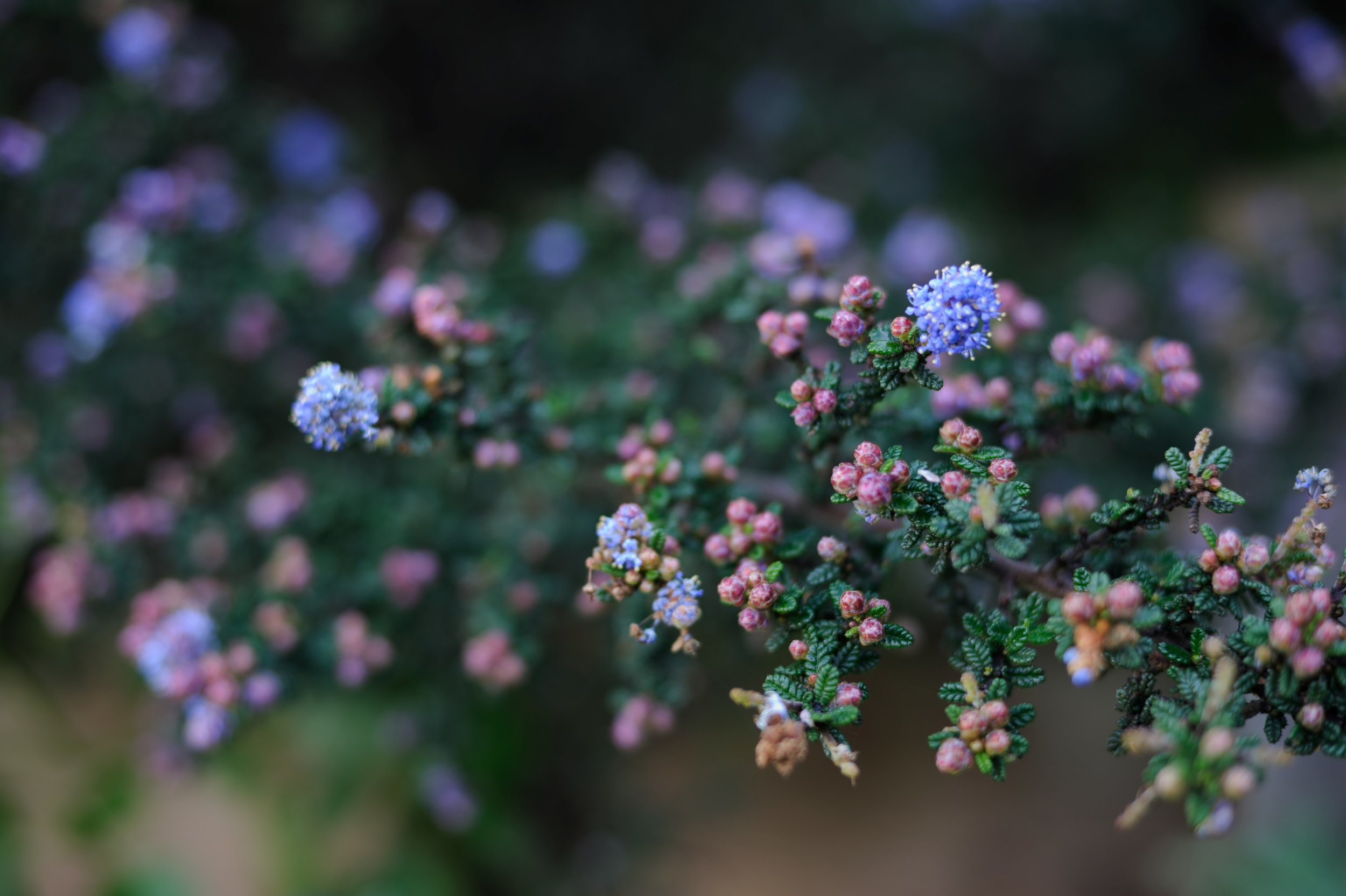 Another variety of  Ceanothus  with darker leaves and flowers.