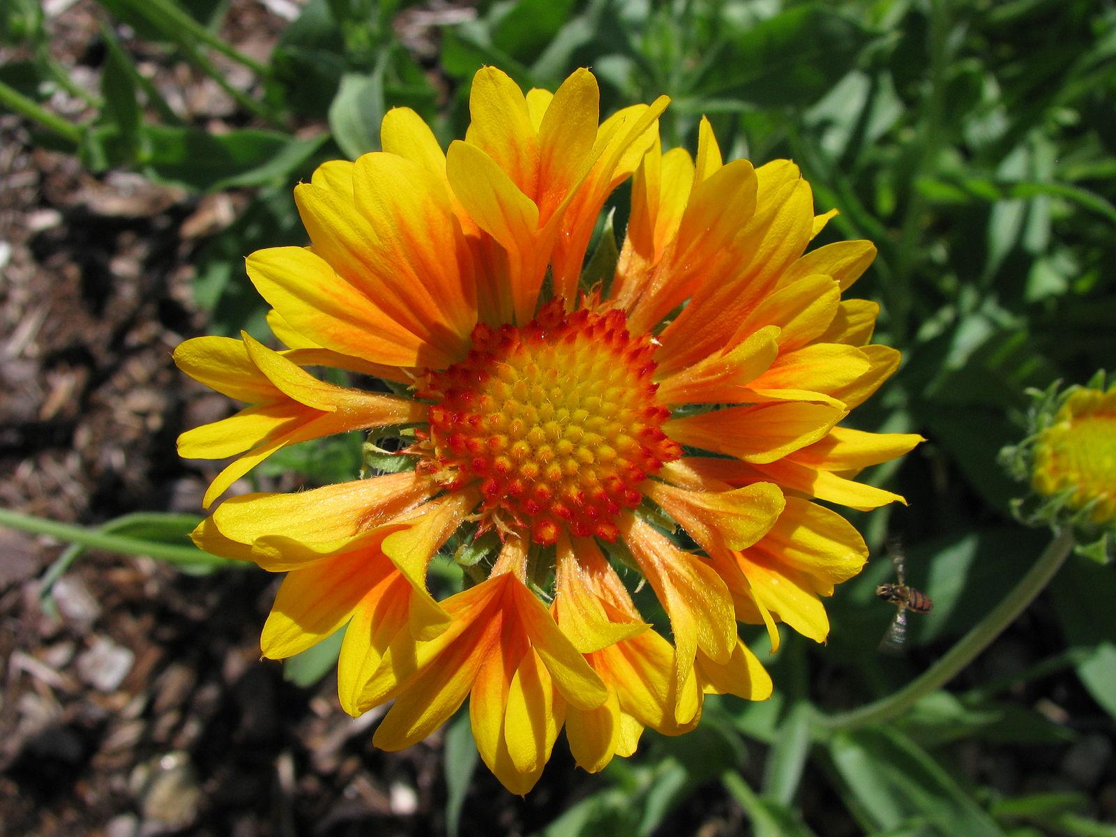 Gaillardia grandiflora  'Oranges and Lemons'