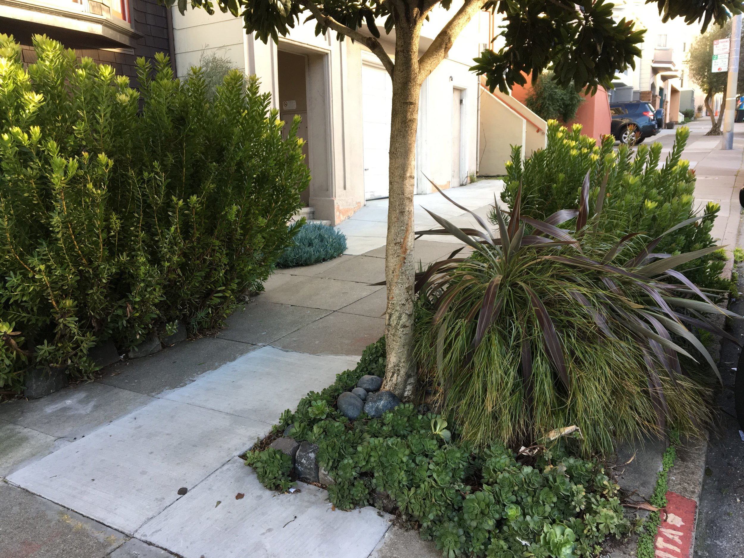 Beautiful grasses, leucadendrons, and succulents in a sidewalk garden in the Inner Sunset.
