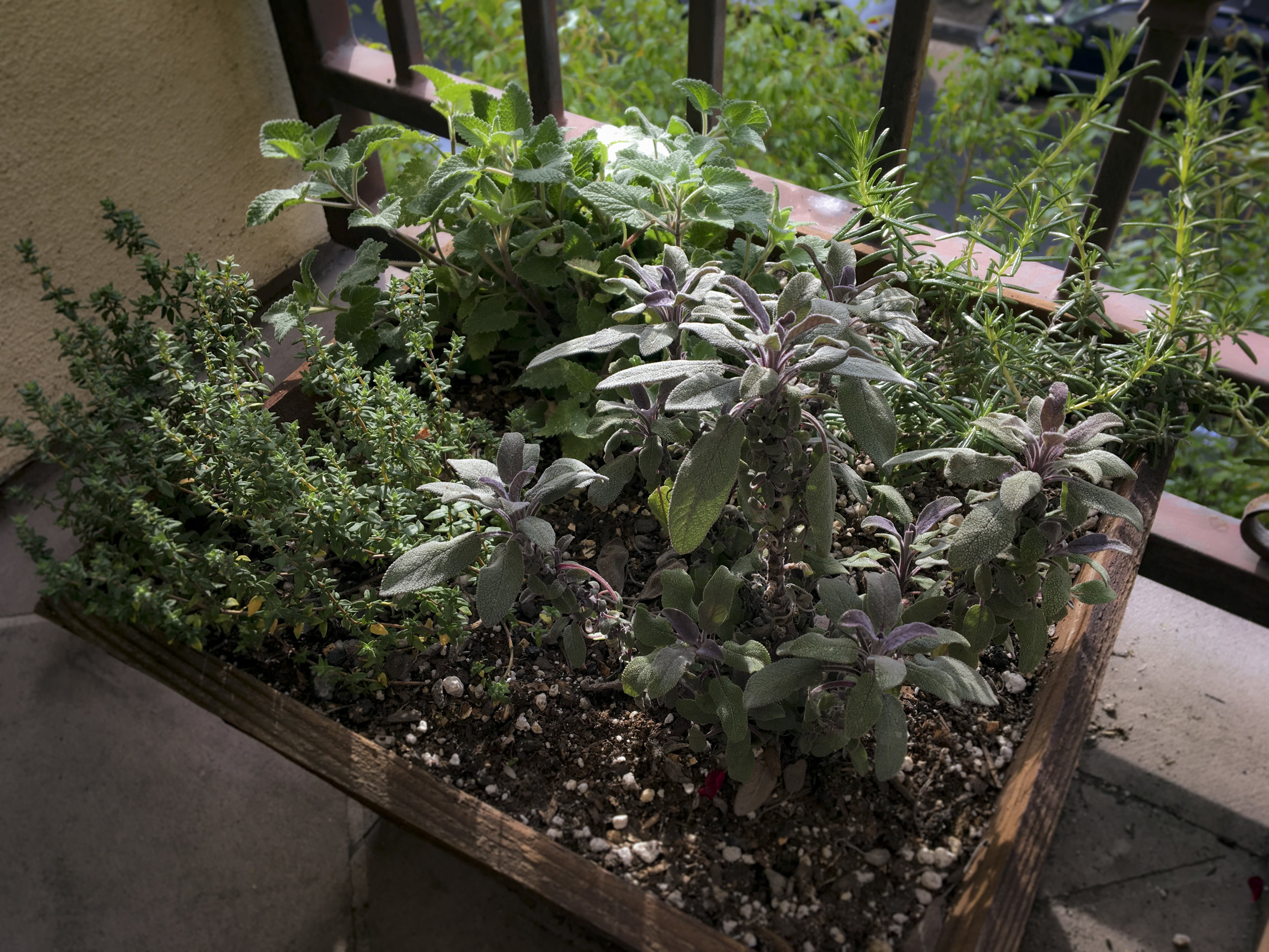 Wood is another good material for a patio or balcony herb planter box. Clockwise from the left, this planter has thyme, catnip, rosemary, and sage.