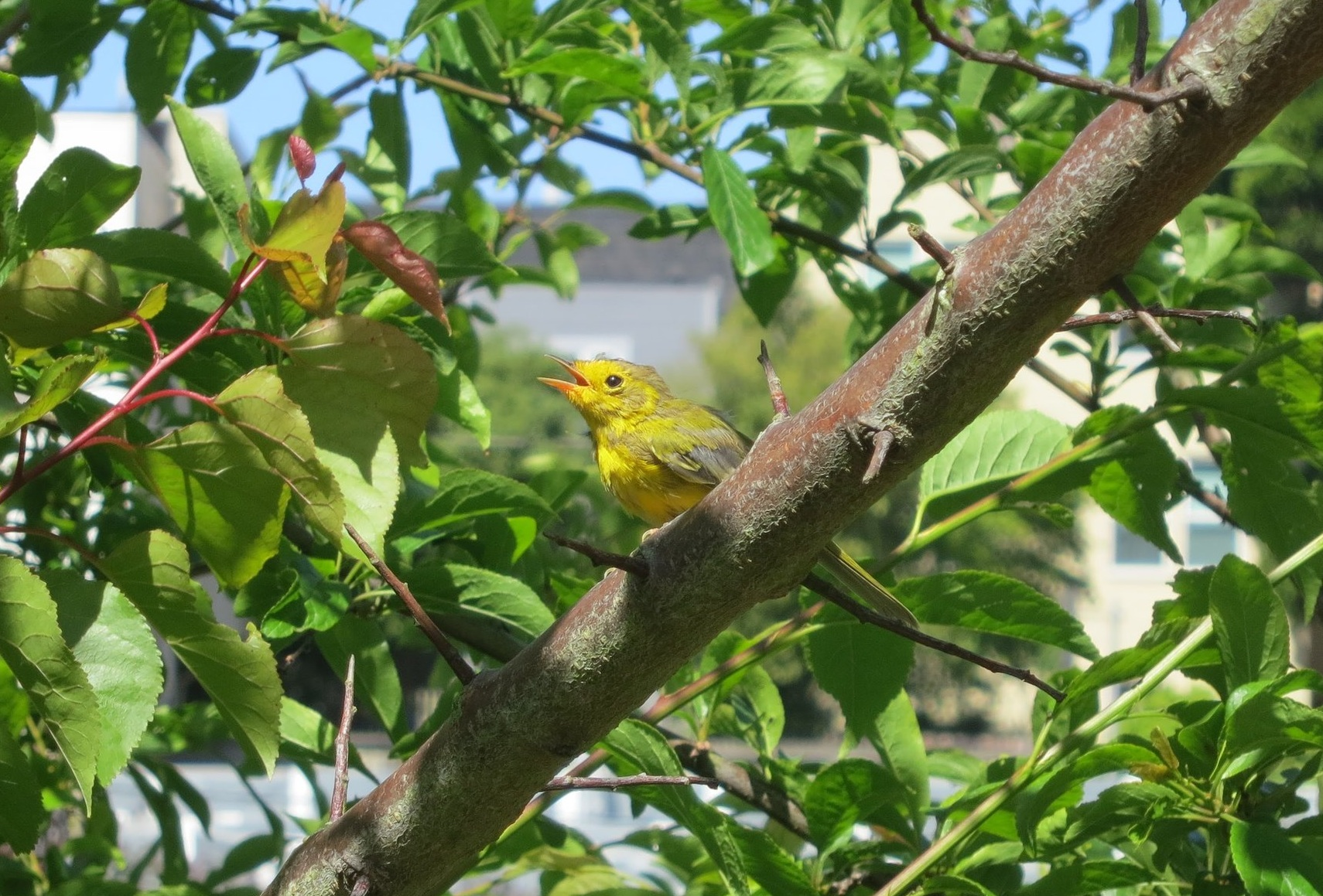 A young Western Tanager enjoying the foliage at GFE.