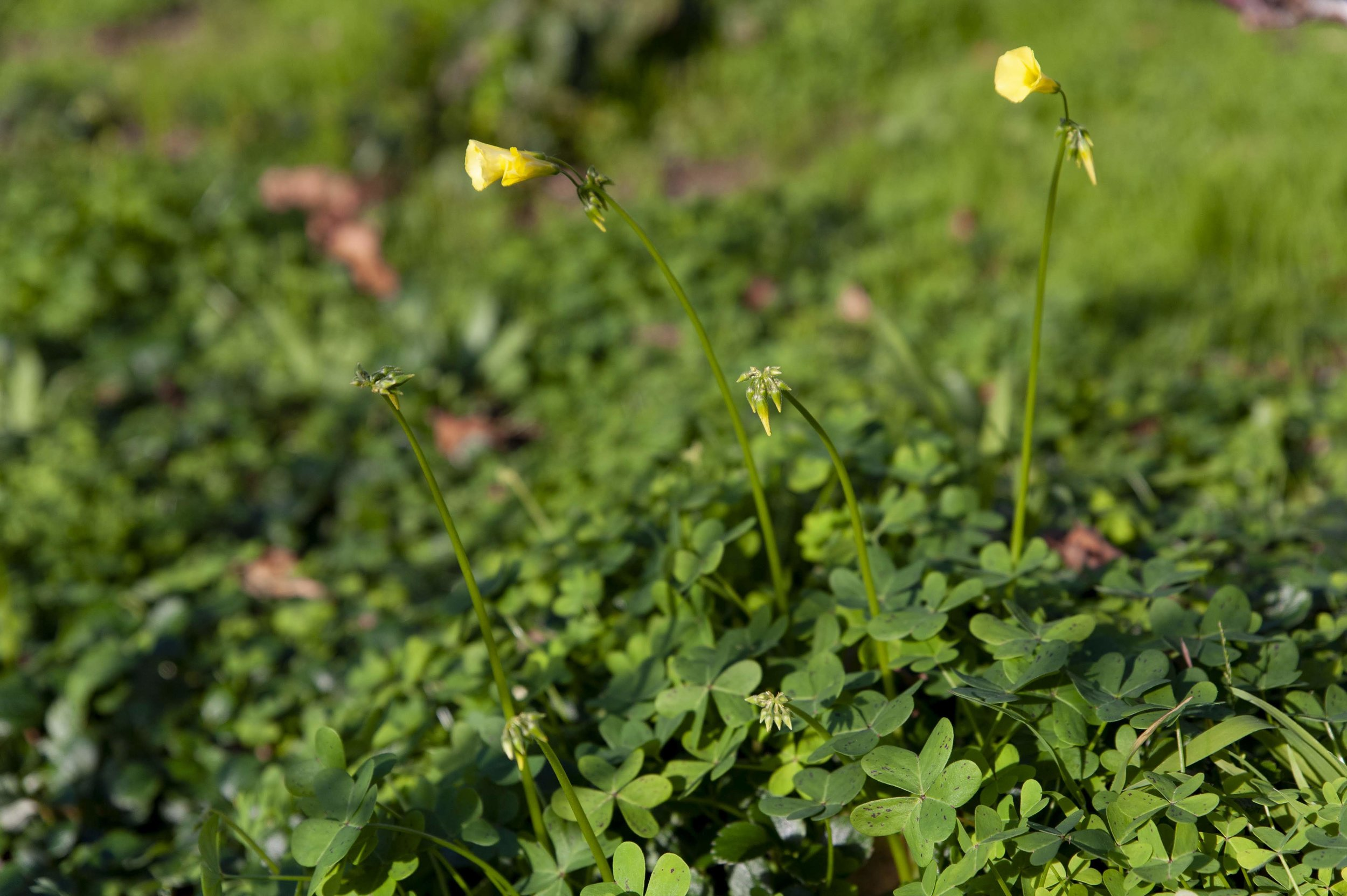 Oxalis pes-caprae  taking over the orchard.