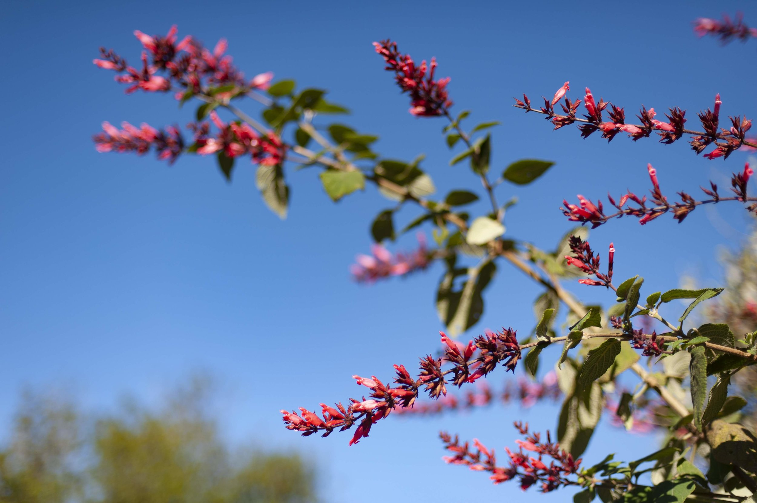 Salvia karwinskii , a GFE kids' favorite for its tasty nectar.