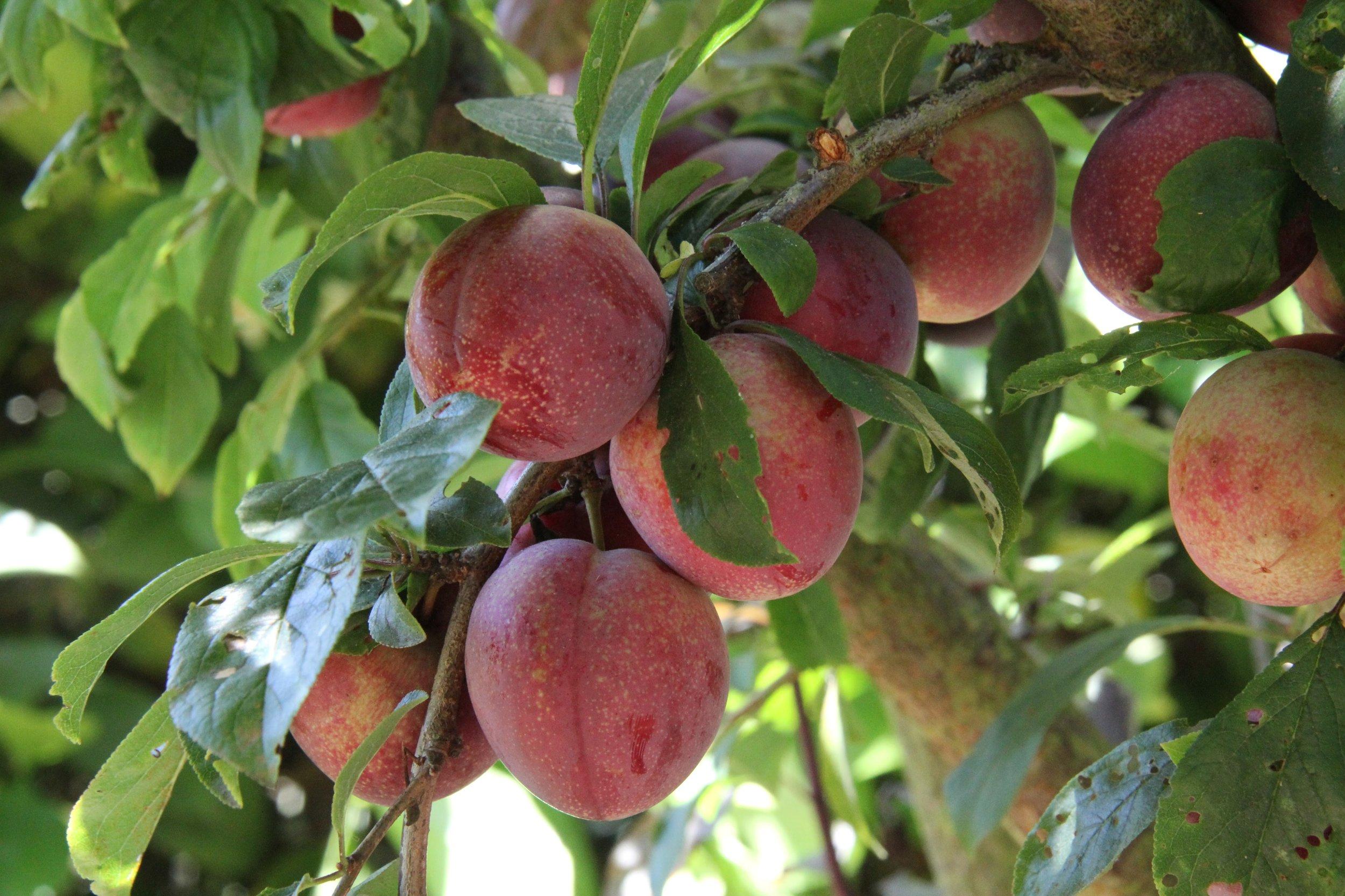 SEASONAL FRUIT TREE CARE -