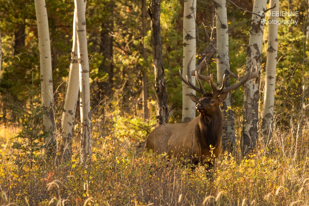 DBN Photography Elk-1.jpg