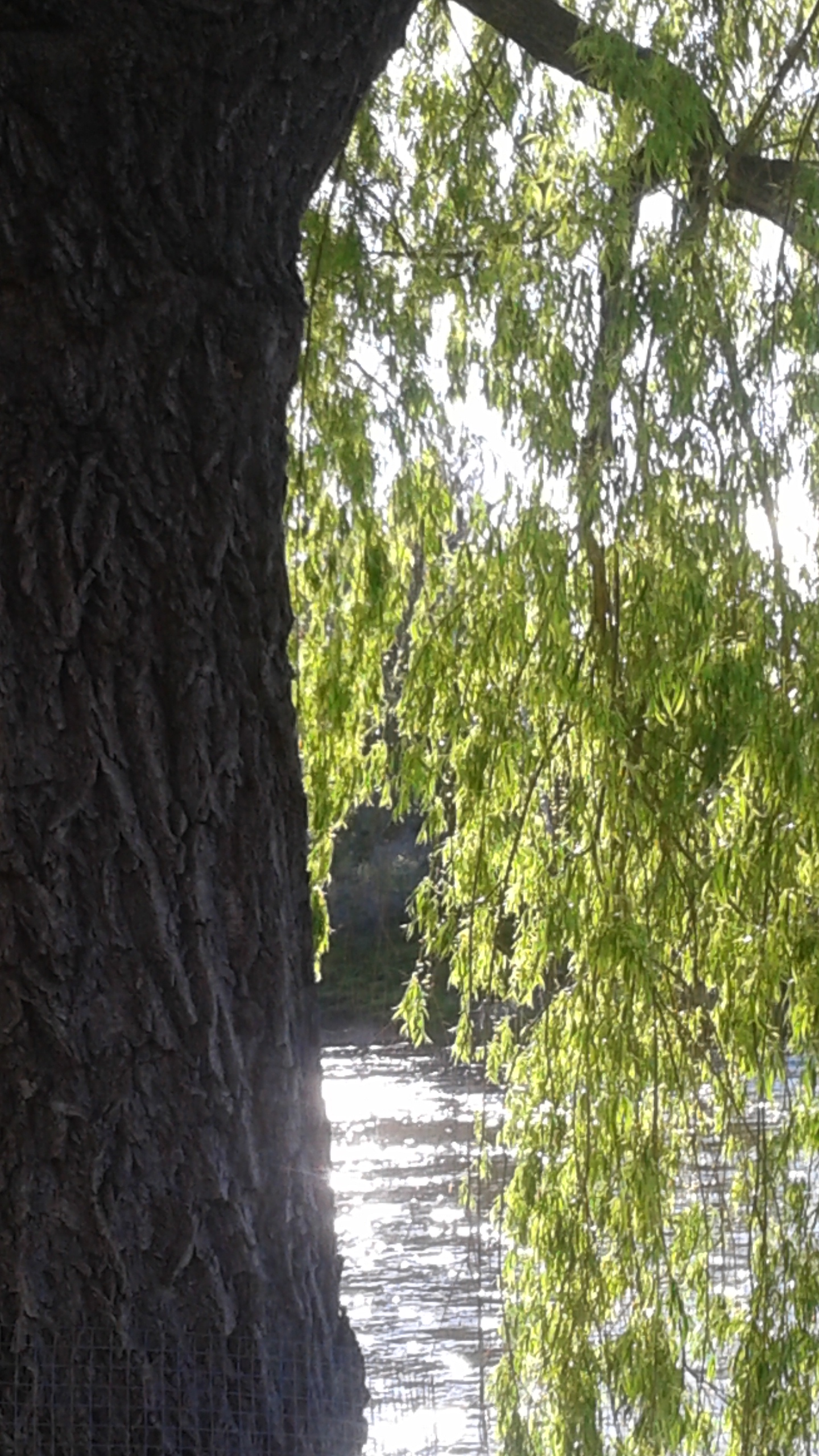 My favorite tree! A Willow tree hanging over the Deschutes.
