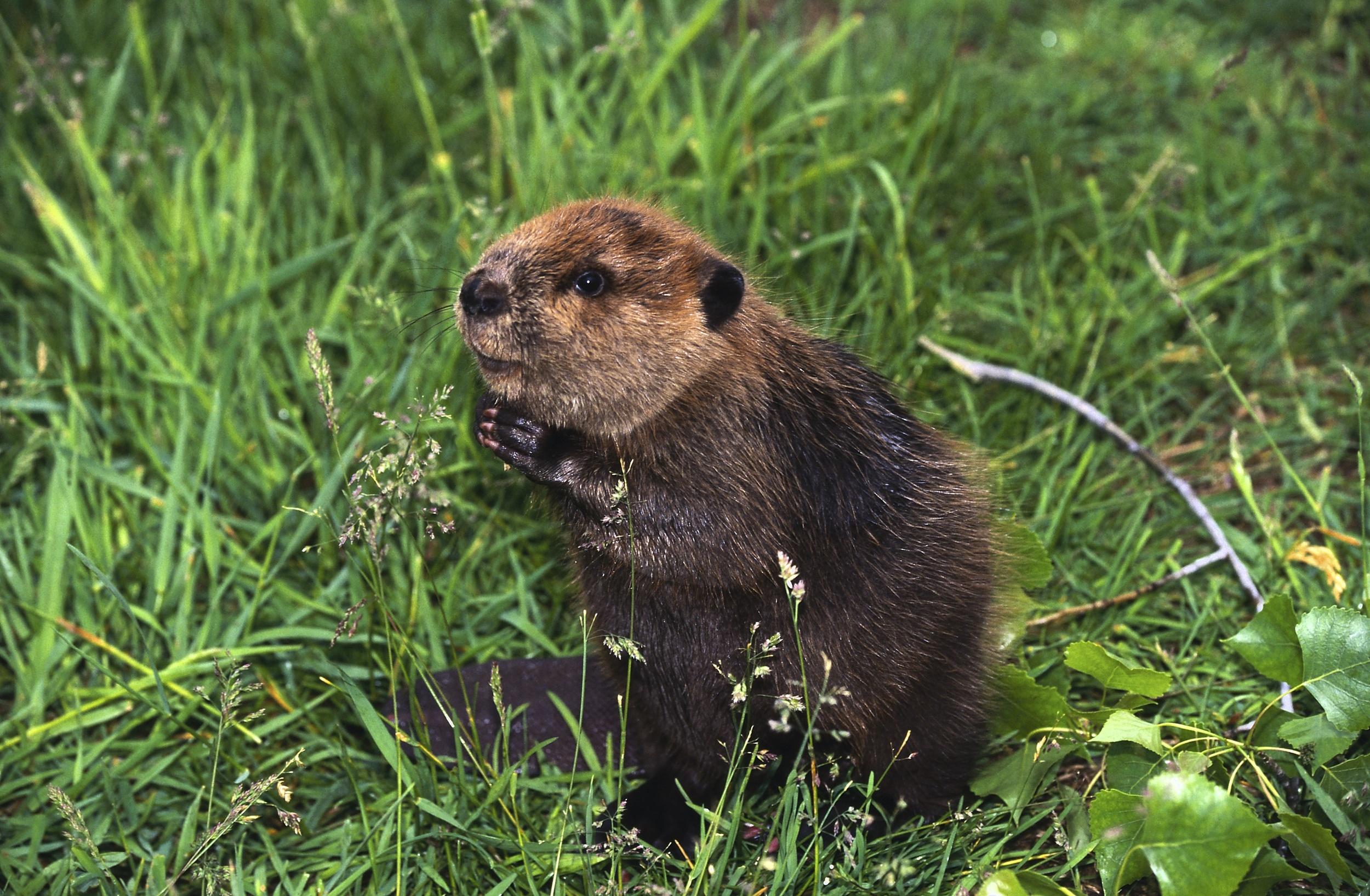 Above: Adorable internet beaver