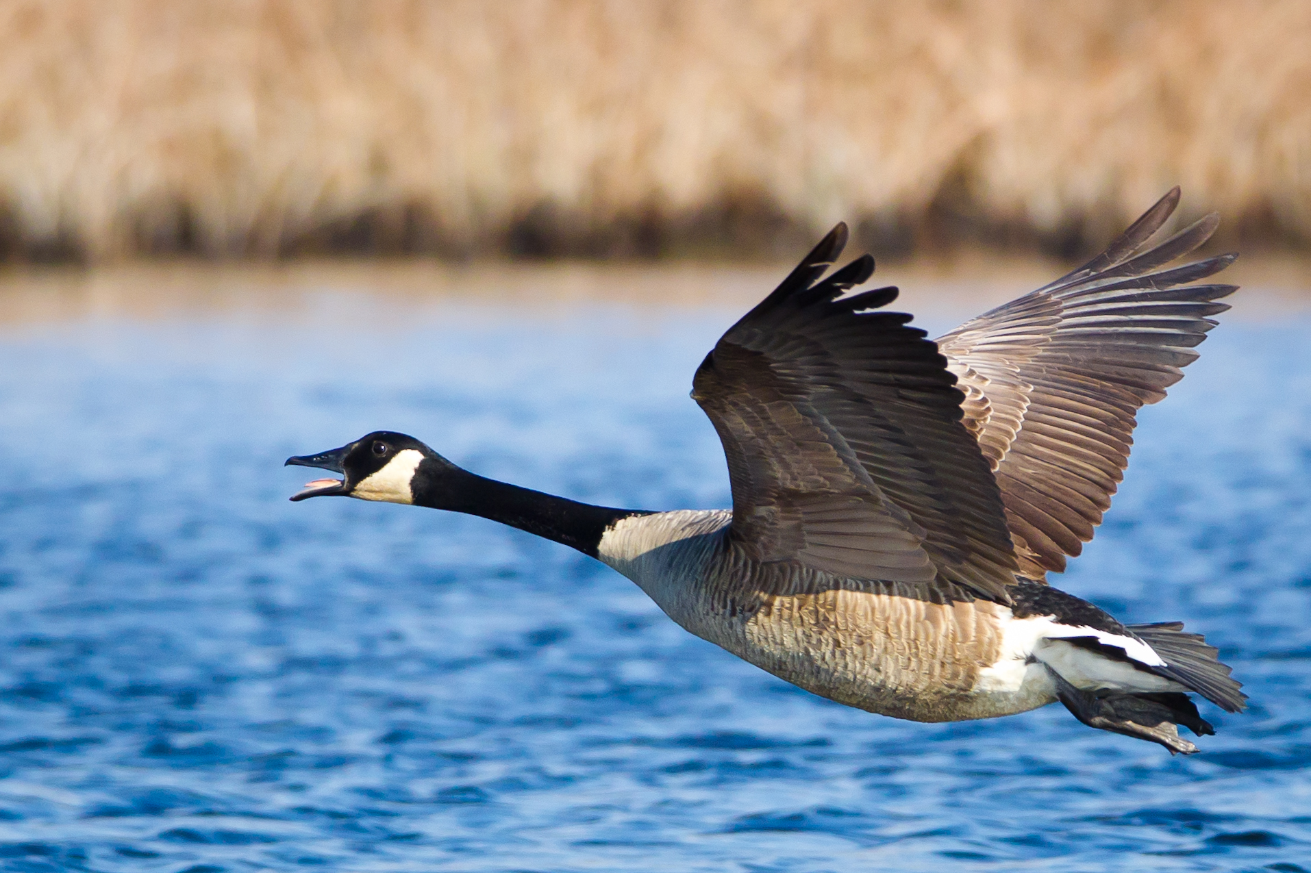 Canadian Goose honking and soaring.